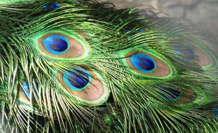 پر طاووس