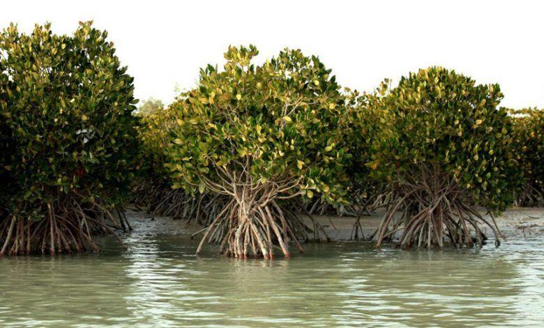 جنگل حرا - جزیره قشم